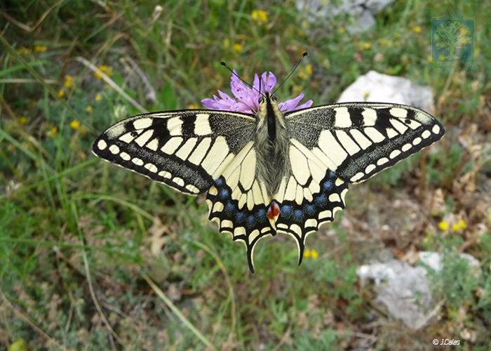 Machaon (c) Jérôme Calas