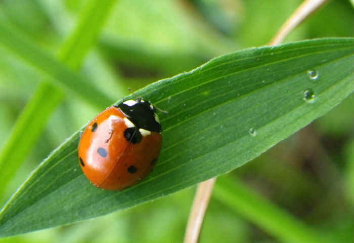 Coccinelle A Sept Points Nature Midi Pyrenees